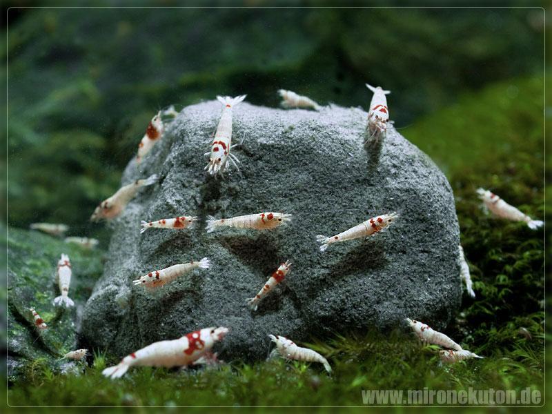Mironekuton natural deep sea mineral produktinformation for Kleine zierfische
